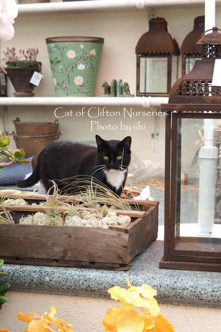 catofcliftonnurseries2.jpg