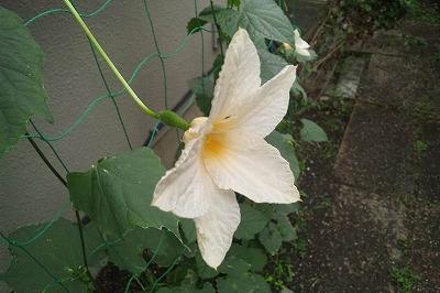 カックンロール花