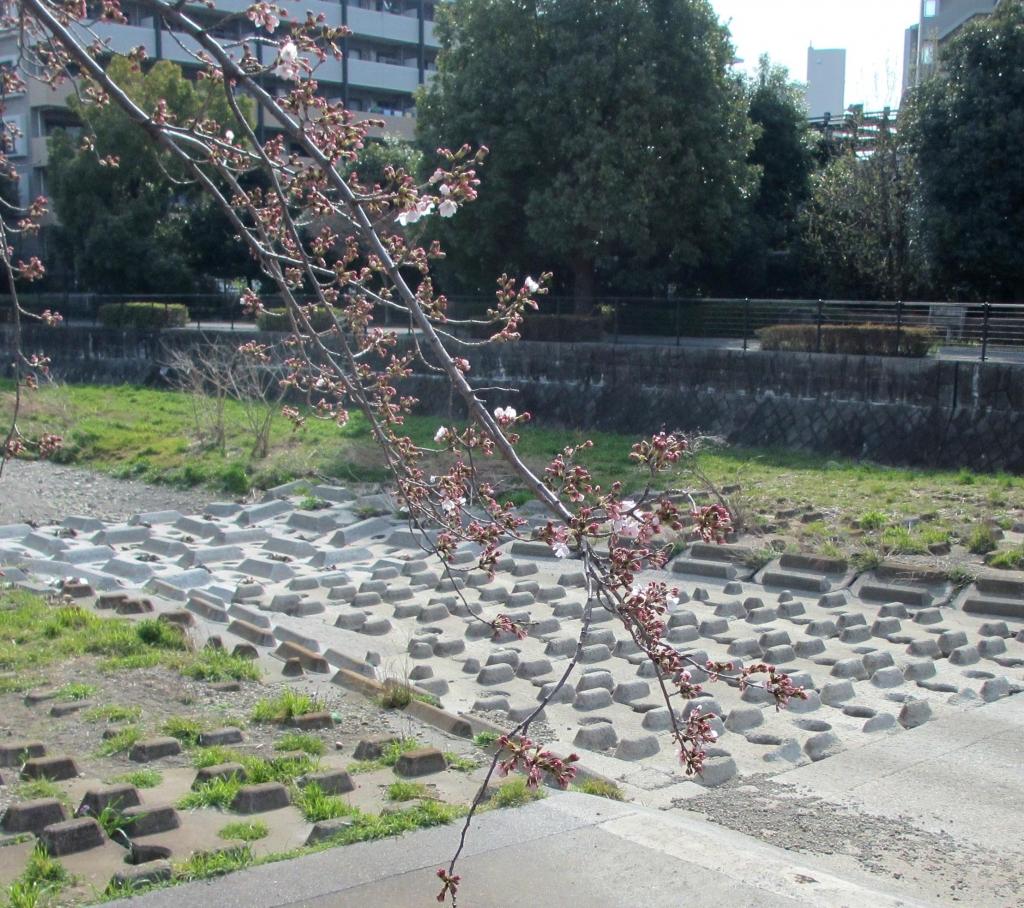 17桜の開花