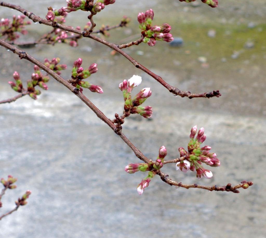 2020桜の開花2