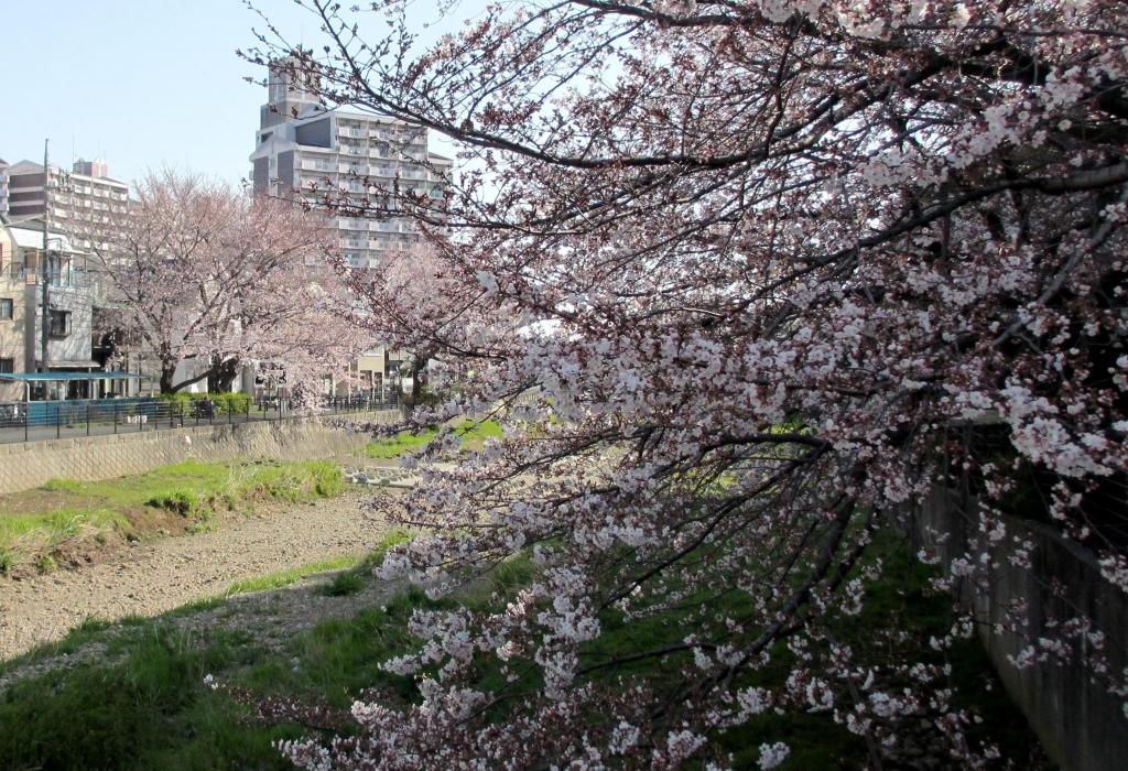 見頃の桜2