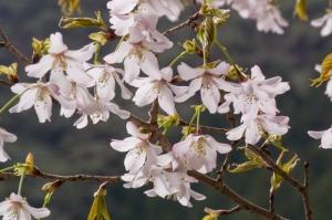 十津川村桜