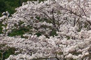 十津川村の桜
