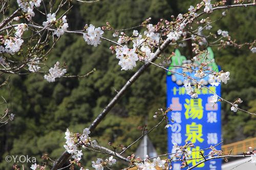湯泉地温泉の桜