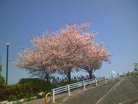 神崎川の桜