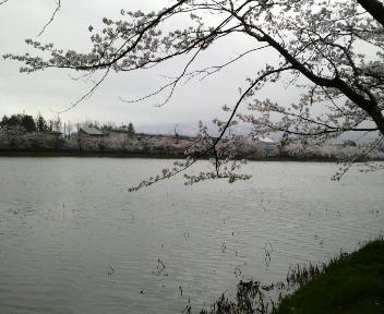 池と桜 静かだー