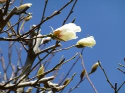 白朋苑のコブシの花