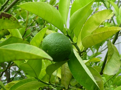 白朋苑の果樹