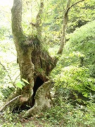 ためいきがこぼれる木のたくましさ