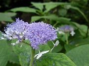 9月に咲くアジサイ