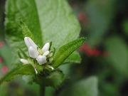 山に咲く白い花