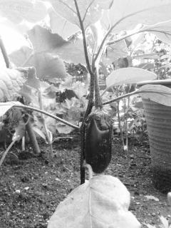 小庭でナスが育ち中。