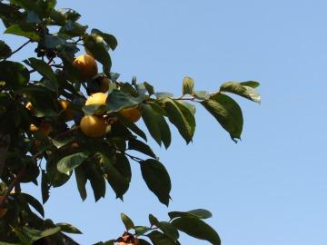 柿の旬までもう少し。