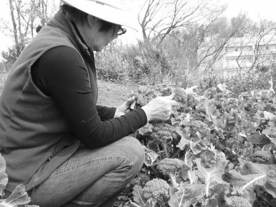 野生化したブロッコリーなど野菜も収穫。