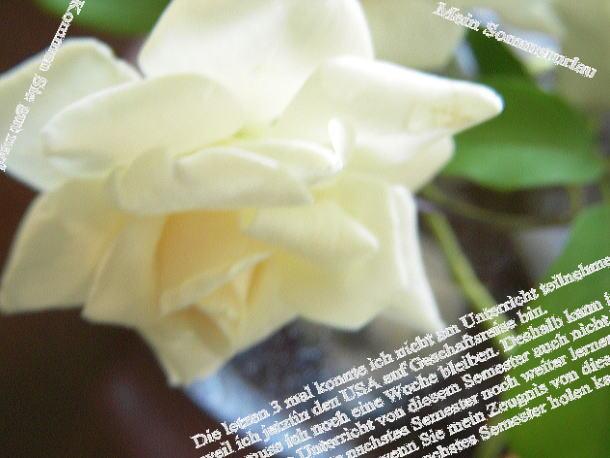 9月の白い薔薇