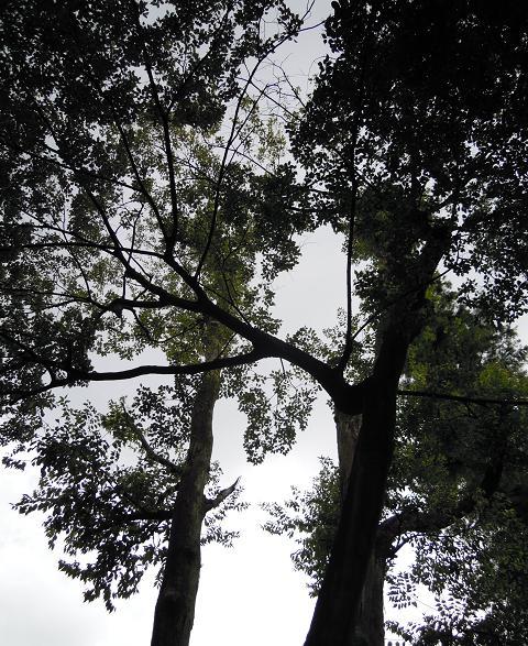 見上げた木々は力強い