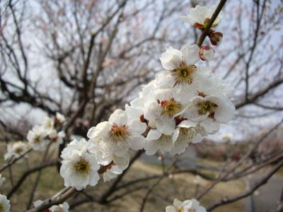 2009年3月(仙台市農業園芸センターの梅園にて)