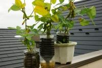 ペットボトル栽培の枝豆1