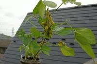 ペットボトル栽培の枝豆2