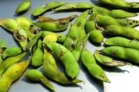 虫食い枝豆