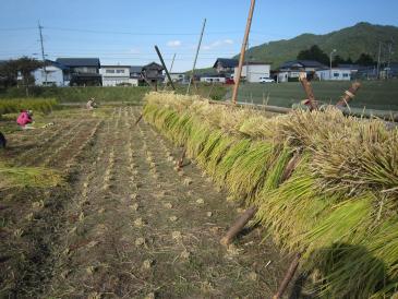 ノラノコ稲刈り
