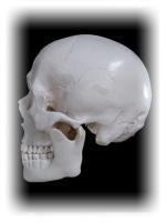 頭骨 側面