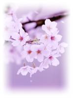 桜 ぼかし
