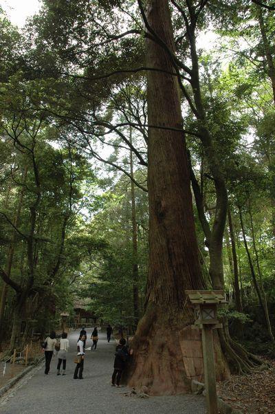 内宮参道巨木