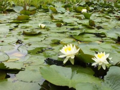 作楽神社蓮の花