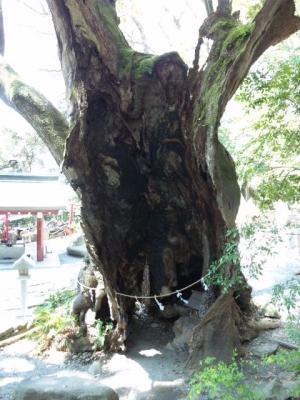 来宮神社第二の大楠