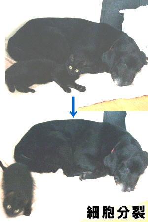 [写真]黒犬と黒猫の一発芸・「細胞分裂」