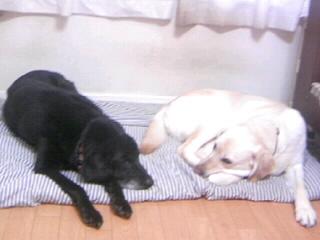 [写真]ハウスで伏せた犬たち、向かって左にニッキー、右にアルファ。