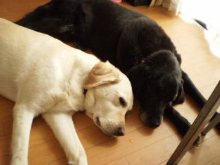 [写真]寄り添って床に寝ているニコアル。