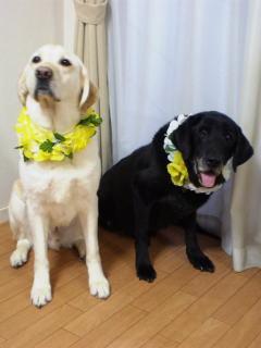 [写真]白いレイを着けたニッキーと、黄色いレイを着けたアルファ、並んで座っている。