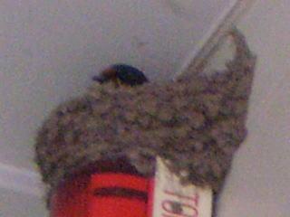 [写真]巣の中にいるツバメの横顔。