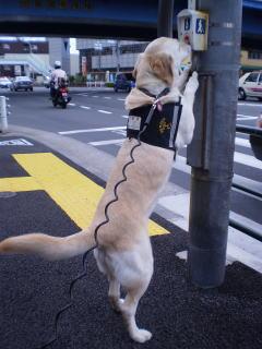 [写真]後ろ足で立ち上がって、信号の歩行者用押しボタンを鼻で押すアルファ。