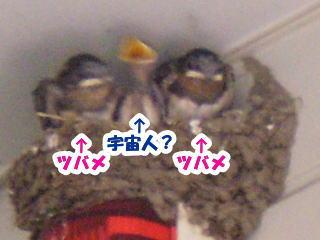 [写真]大分ツバメらしくなったひなの中に、1羽だけ宇宙人?