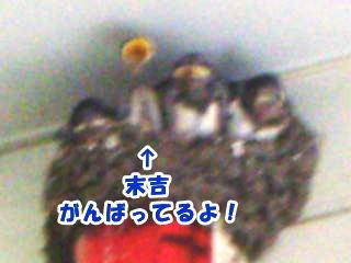 [写真]巣の中にツバメのひな4羽、ひときわ小さい末吉が、伸び上がって口を開けている。