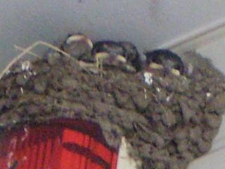[写真]巣の中から顔を出す、ツバメのひなたち。