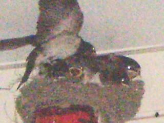 [写真]羽ばたく練習をする子ツバメ。