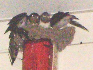 [写真]ますます羽ばたく練習をする子ツバメ。
