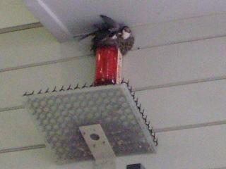 [写真]ツバメの巣とツバうんキャッチャー。