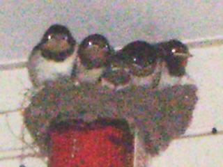 [写真]5羽揃った子ツバメたち。
