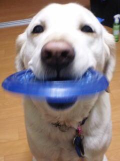 [写真]青いディスクをくわえたアルファ、嬉しそう。