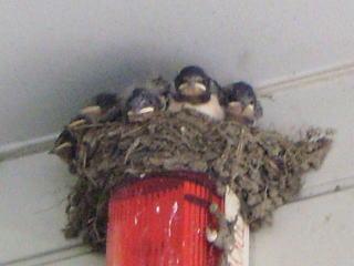 [写真]巣の中にぎゅうぎゅうに詰まったツバメのひな6羽。