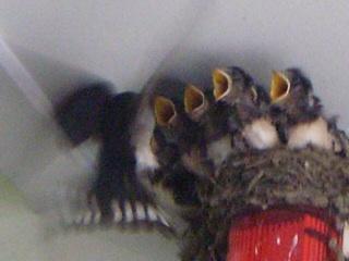[写真]飛んできた親ツバメに向かって、いっせいに黄色い口を開けるひなたち。