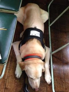 [写真]オレンジ色の首輪と、黒いベストを着けて、床に寝ているアルファ。
