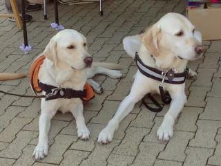[写真]同じポーズの、聴導犬ハイジと介助犬アルファ