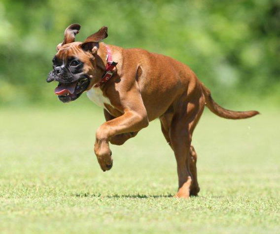 マハロの飛行犬
