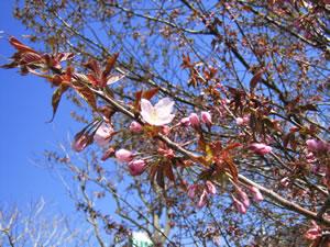 豊平川の春_1